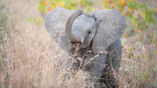 An African elephant calf, Loxodonta africana, stands in tall brown grass, lifting its trunk with an open mouth - MINF13228