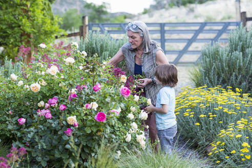 A senior adult, grandmother and her 5 year old grandson pruning roses in her garden - MINF13258