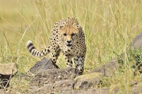 A beautiful cheetah stalks its prey - CAVF68743