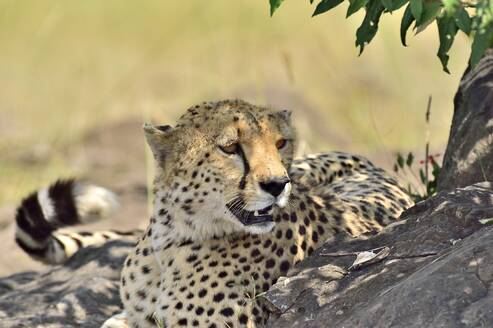 A cheetah naps in the shade of a tree - CAVF68746