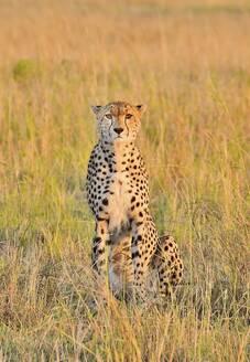 A beautiful cheetah cat - CAVF68758