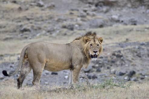 A large male lion - CAVF68776