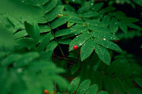 Green leaves with ornamental edges and red berry on branch - CAVF68833