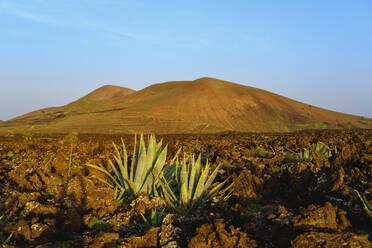 Agaven in Lavafeld, Caldera Los Rostros und Montana del Cortijo, bei Tinajo, Lanzarote, Kanaren, Spanien - SIEF09289