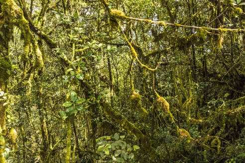 The Mossy Forest, Gunung Brinchang, Cameron Highlands, Pahang, Malaysia, Southeast Asia, Asia - RHPLF12900