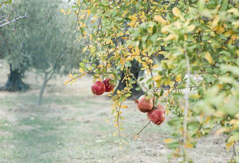 granatäpfel am baum in einem türkischen garten, foça, ägäis, türkei - CZF00341