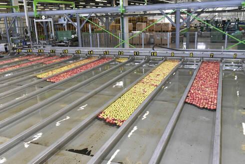 Conveyor belt with apples in water - LYF01000