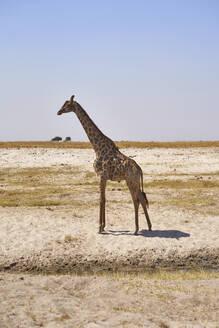 Giraffe in the savannah, Chobe National Park, Botswana - VEGF00868