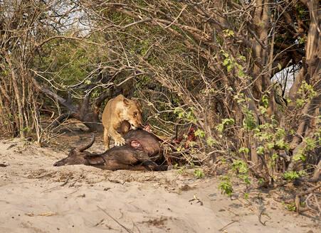 Lion eating a hunt buffalo, Chobe National Park, Botswana - VEGF00877