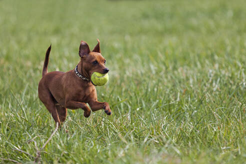 Red miniature pinscher playing with ball on a meadow - XCF00297
