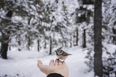 Little bird eating from the female hand in the snowy forest. Engadin, Switzerland - MRAF00458