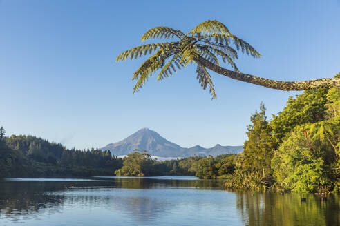 New Zealand, Palm tree growing on forested shore of Lake Mangamahoe with Mount Taranaki looming in background - FOF11288