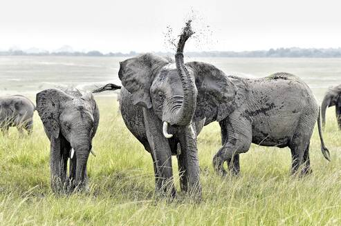 A group of young elephants play in a watering hole on the savannah - CAVF70324