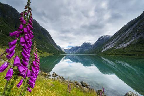 Wild flowers on shores of Jolstravatnet lake under storm clouds, Jolster, Sogn og Fjordane county, Western Norway, Scandinavia, Europe - RHPLF13050