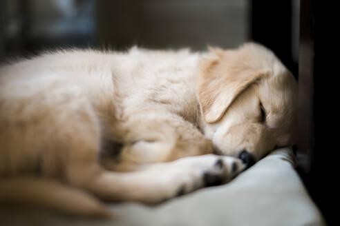Close-up of Golden Retriever sleeping on bed at home - CAVF70623