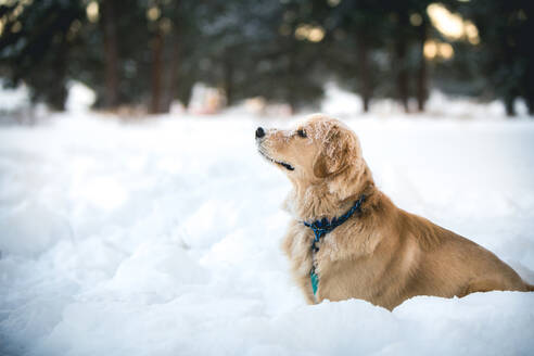 Side view of Golden Retriever sitting on snow covered field - CAVF70629