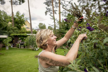 Happy woman gardening pruning butterfly bush - BFRF02144