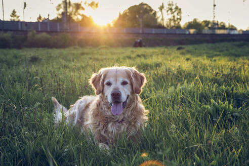 Germany, Bavaria, Munich, Portrait of Golden Retriever lying in meadow at sunset - MAMF00962