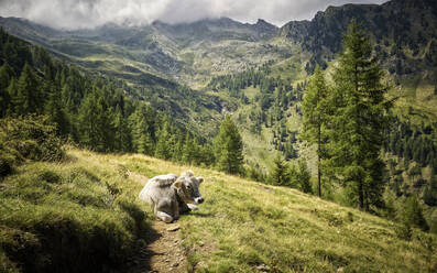 Cow resting on alpine pasture, Passeier Valley, South Tyrol, Italy - DIKF00324