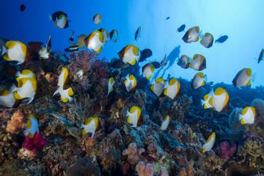 Palau, School of yellow pyramid butterflyfish (Hemitaurichthys polylepis) - GNF01527