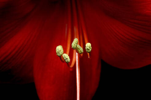 Germany, Close-up of stamens of red blooming amaryllis flower - JTF01439