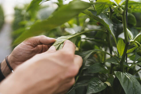 Woman's hands checking leaf of Capsicum in a greenhouse, Almeria, Spain - MPPF00422