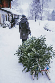 Back view of woman transporting fir tree on sledge to the compost after Christmas, Jochberg, Austria - PSIF00345