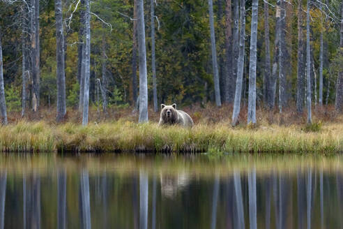 Finland, Kuhmo, Brown bear (Ursus arctos) standing on lakeshore in autumn taiga - ZCF00867