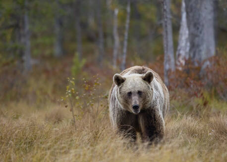 Finland, Kuhmo, Brown bear (Ursus arctos) walking toward camera in autumn taiga - ZCF00876
