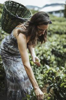 Sri Lanka, Central Province, Katukithula, Adult woman picking tea in plantation - DAWF01123