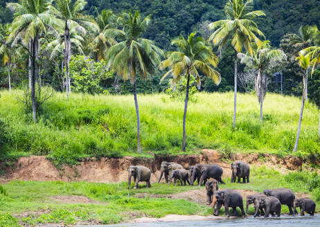 Herd of Elephants at a river bank in Pinnawala / Sri Lanka - CAVF73178