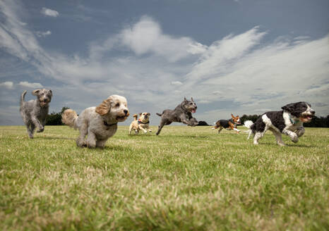 Dogs chasing each other in a park, left to right: Irish Wolfhound, Petit Basset Griffon Vendeen, Swedish Vallhund, Irish Wolfhound, Beagle, Spinone Italiano - AJOF00130
