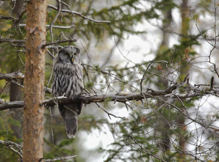 Finland, Kuhmo, North Karelia, Kainuu, Great grey owl (Strix nebulosa) perching on tree branch - ZCF00879