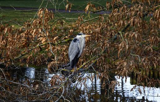 Germany, Saxony, Portrait of grey heron (Ardea cinerea) perching outdoors - JTF01454