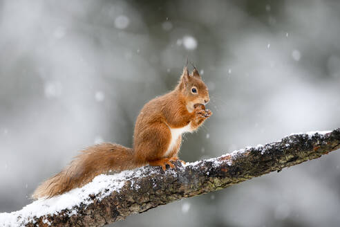 UK, Scotland, Red squirrel (Sciurus vulgaris) feeding on tree branch in winter - MJOF01770