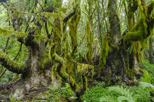 Spain, Canary Islands, La Gomera, Moss-covered trees in Garajonay National Park - SIEF09414