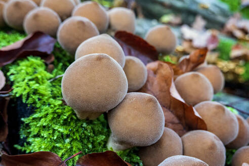 Germany, Bavaria, Wurzburg, Umber-brown puffball (Lycoperdon umbrinum) - NDF01015