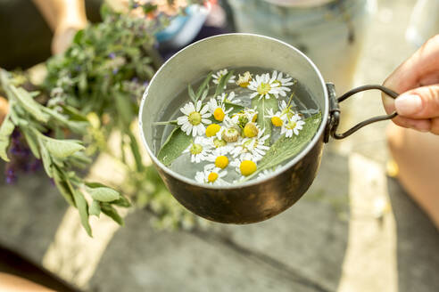 Fresh chamomile in pot with water for an infusion - WESTF24514
