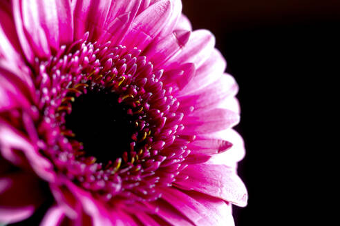 Germany, Head of pink blooming gerbera daisy - JTF01457
