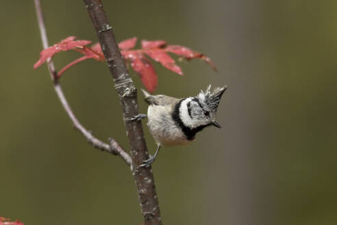 Crested tit, Lophophanes cristatus, on a twig - ZCF00893