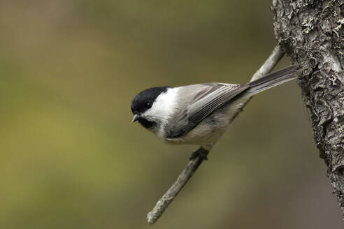 Willow tit, Poecile montanus, perching on a twig - ZCF00896