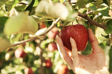 Hand plucking apple from a tree - ABIF01251