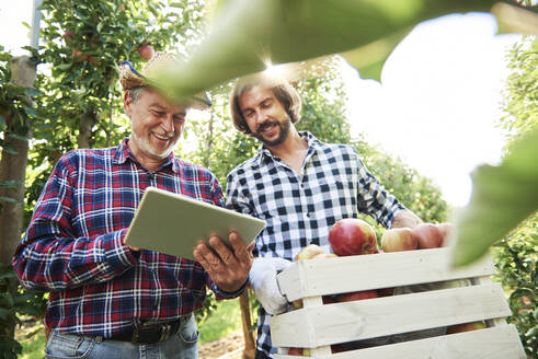 Fruit growers checking quality of apples in their orchard - ABIF01260