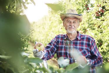 Fruit grower harvesting apples in orchard - ABIF01263