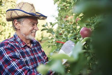 Fruit grower harvesting apples in orchard - ABIF01269