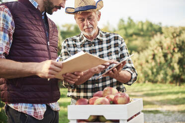 Fruit growers checking quality of harvested apples - ABIF01275
