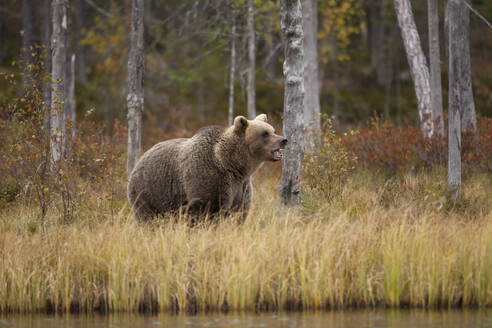 Finland, Kainuu, Kuhmo, Brown bear (Ursus arctos) standing on grassy lakeshore in autumn taiga - ZCF00906