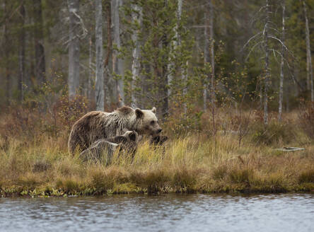 Finland, Kainuu, Kuhmo, Brown bear (Ursus arctos) family standing on grassy lakeshore in autumn taiga - ZCF00912