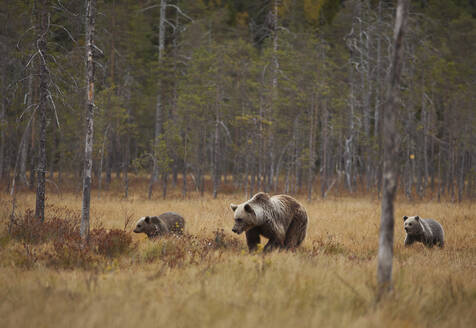 Finland, Kuhmo, North Karelia, Kainuu, Brown bear (Ursus arctos) female with cubs in field - ZCF00915