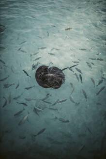 Ray and other fish in the Indian Ocean,  Gaafu Dhaalu Atoll, Maldives - DAWF01225